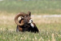 Sonnenbad am Morgen - Kapitaler Mufflonwidder auf einem Feld - Wildelife