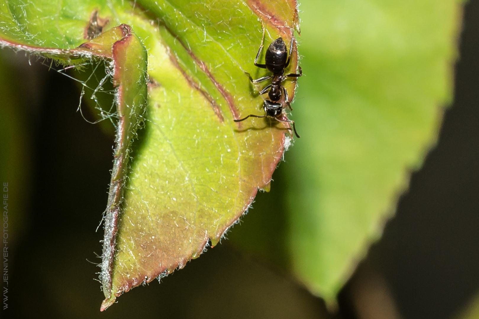 Sonnenbad der kleinen Ameise