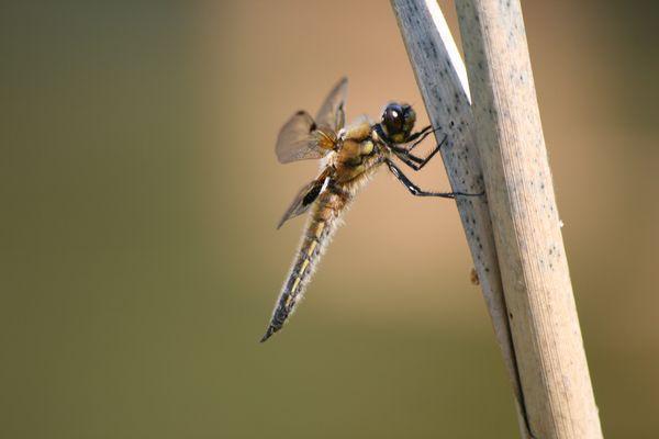 Sonnenbad der Libelle