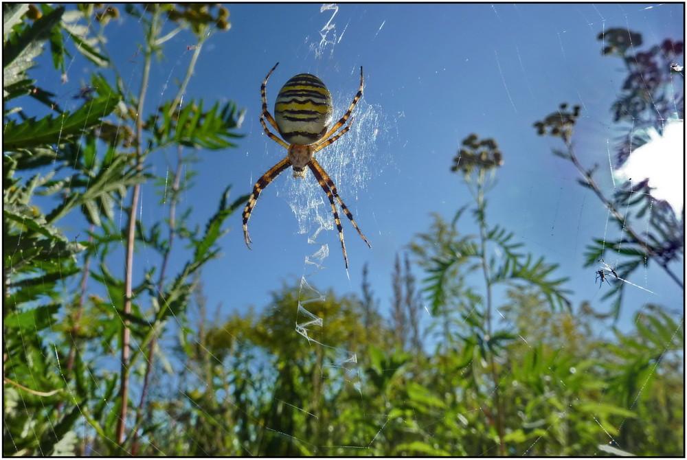 Sonnenbad der Wespenspinne