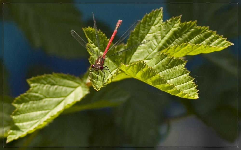 Sonnenbad einer Libelle