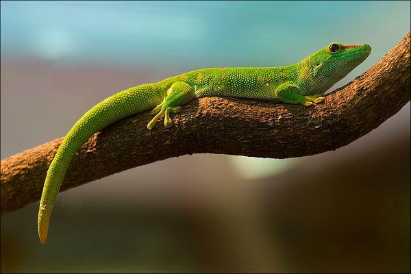 Sonnenbad <Madagaskar-Taggecko>