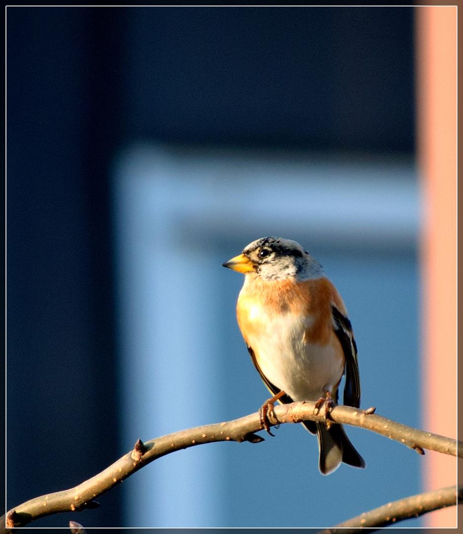 sonnenbadender Bergfink