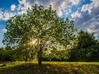 Sonnenbaum #2