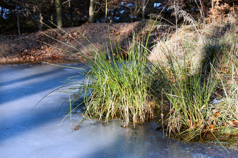Sonnenbeschienenes Gras im gefrorenem Tümpel