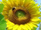 Sonnenbiene