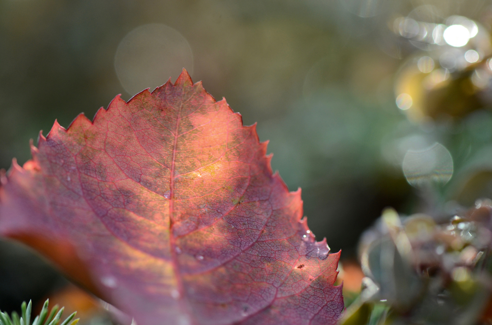 Sonnenblatt Foto & Bild | makro, wein, laub Bilder auf fotocommunity