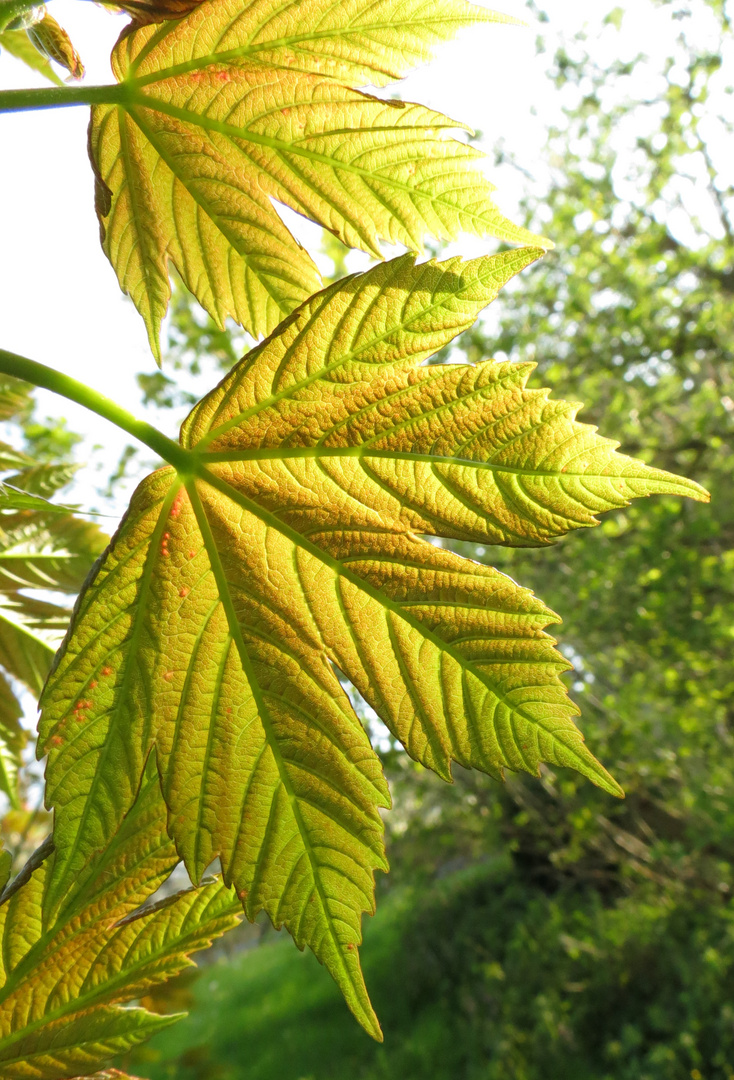 Sonnenblatt Foto & Bild | pflanzen, pilze & flechten, bäume, blatt ...