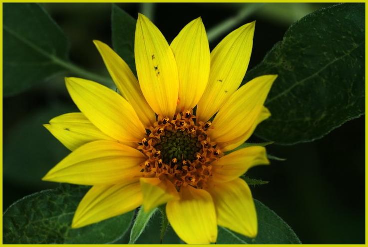 Sonnenblümchen*