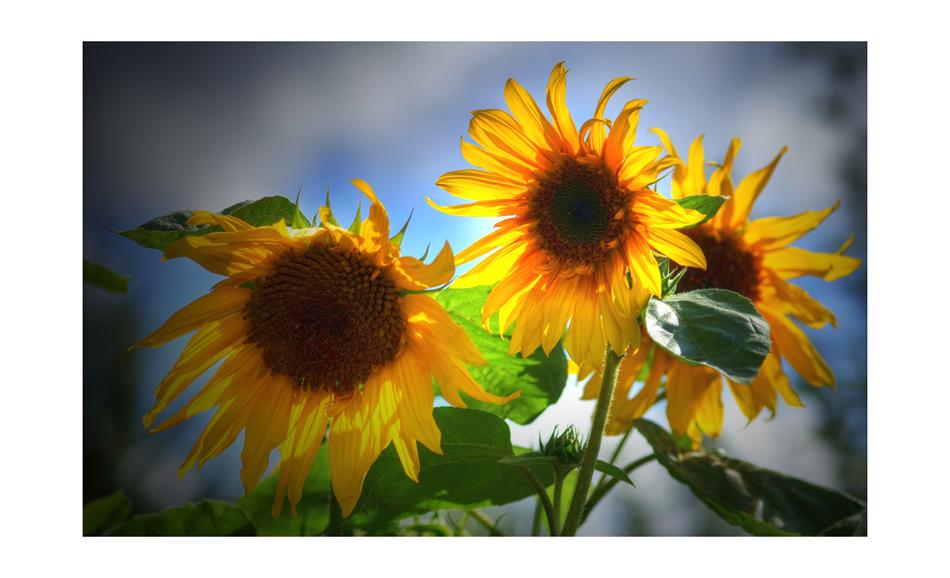 Sonnenblümchen die 2.