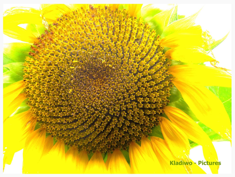 Sonnenblume 02