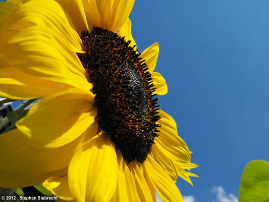 Sonnenblume, 05.09.2010