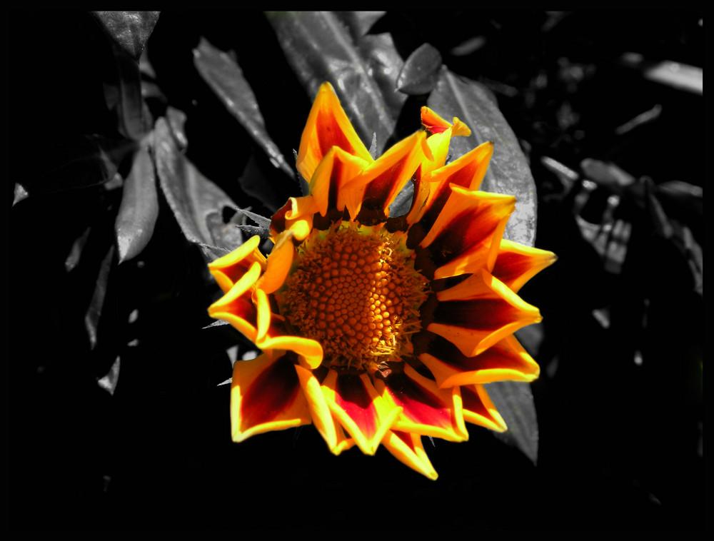 Sonnenblume :-)