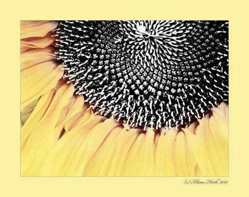 Sonnenblume 1 die 43 - schwarz/gelb