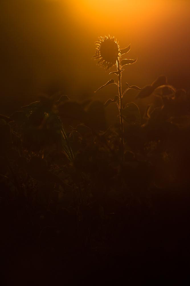 Sonnenblume ;-)