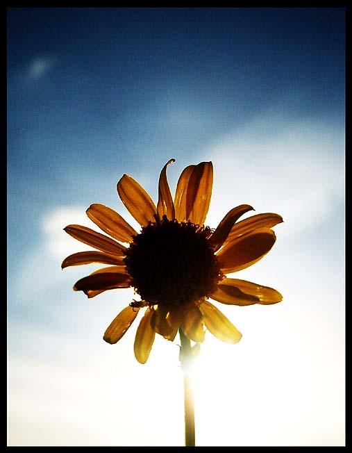 Sonnenblume (2)