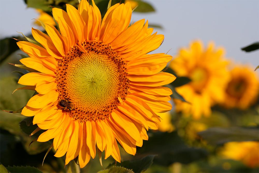 ~Sonnenblume~