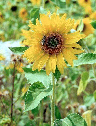 * Sonnenblume *