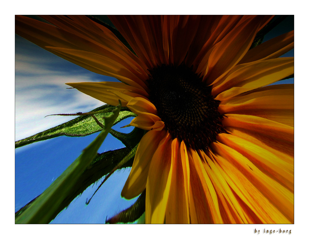 Sonnenblume..