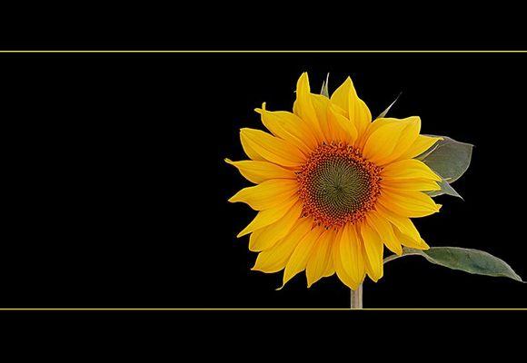 .............Sonnenblume