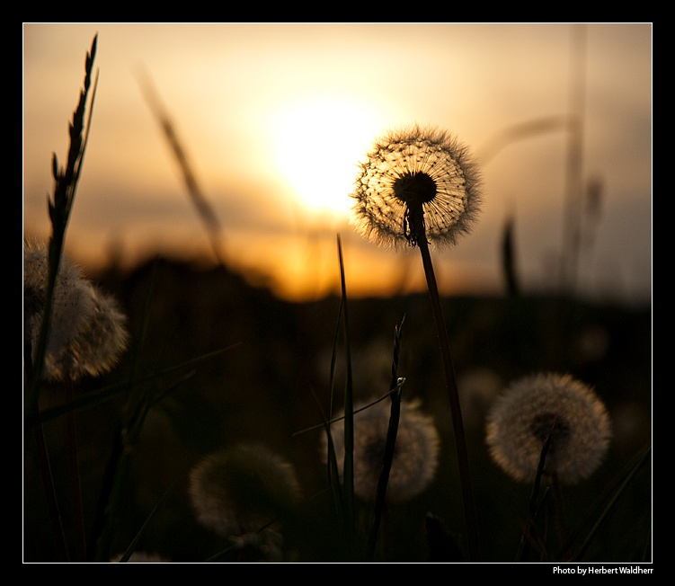 ".. ""Sonnenblume"" .."