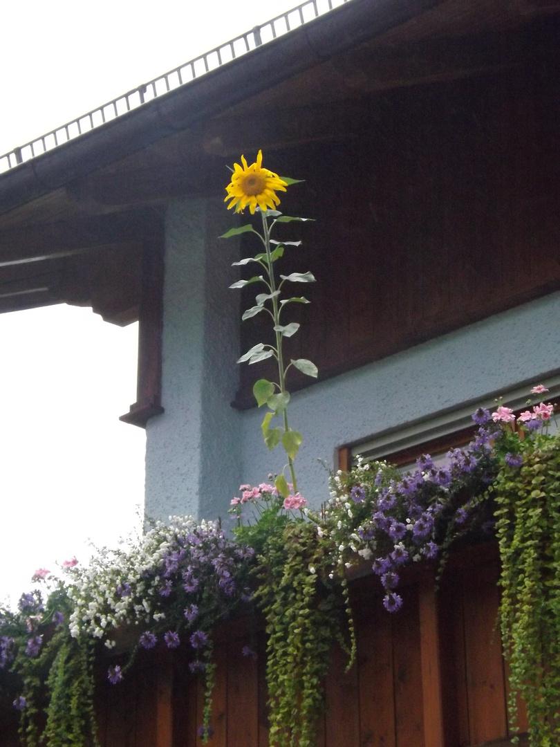 Sonnenblume am Balkon