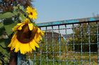 Sonnenblume am Gartentor