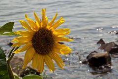 Sonnenblume am Rheinufer