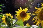 Sonnenblume am Strassenrand 2