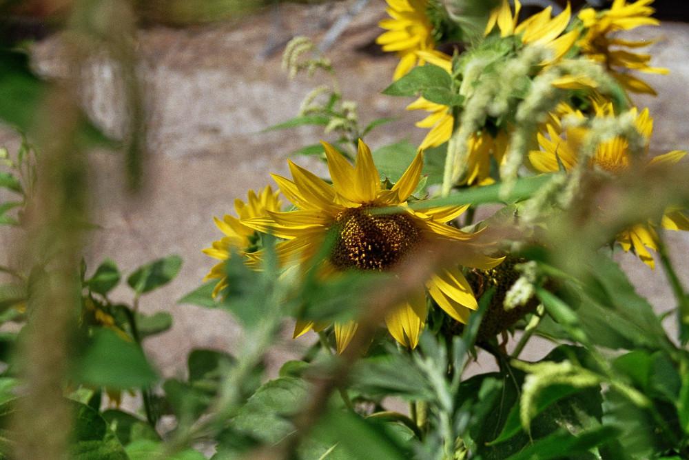 Sonnenblume am Strassenrand