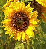 Sonnenblume am Wegesrand