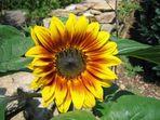 Sonnenblume an der Mauer