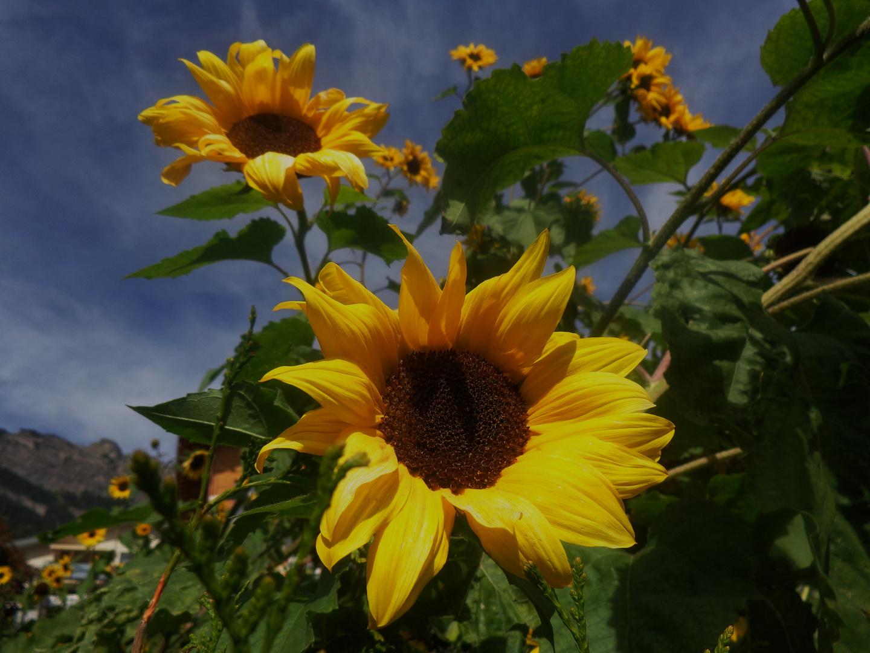Sonnenblume an der Sonne