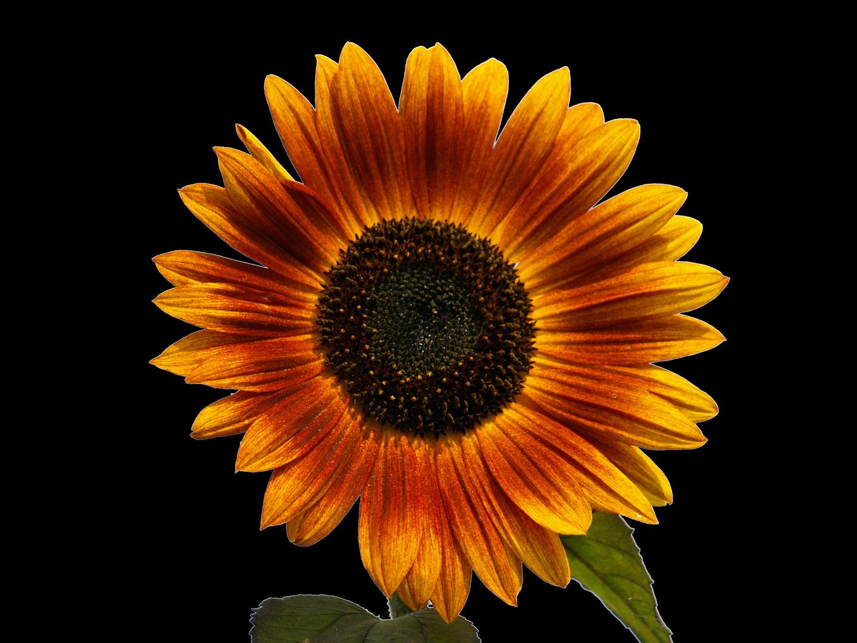 Sonnenblume auf schwarz