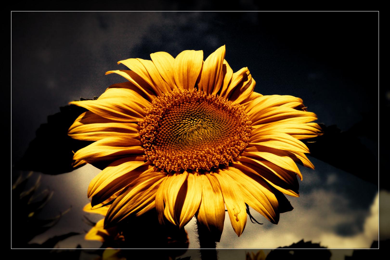 Sonnenblume August 13
