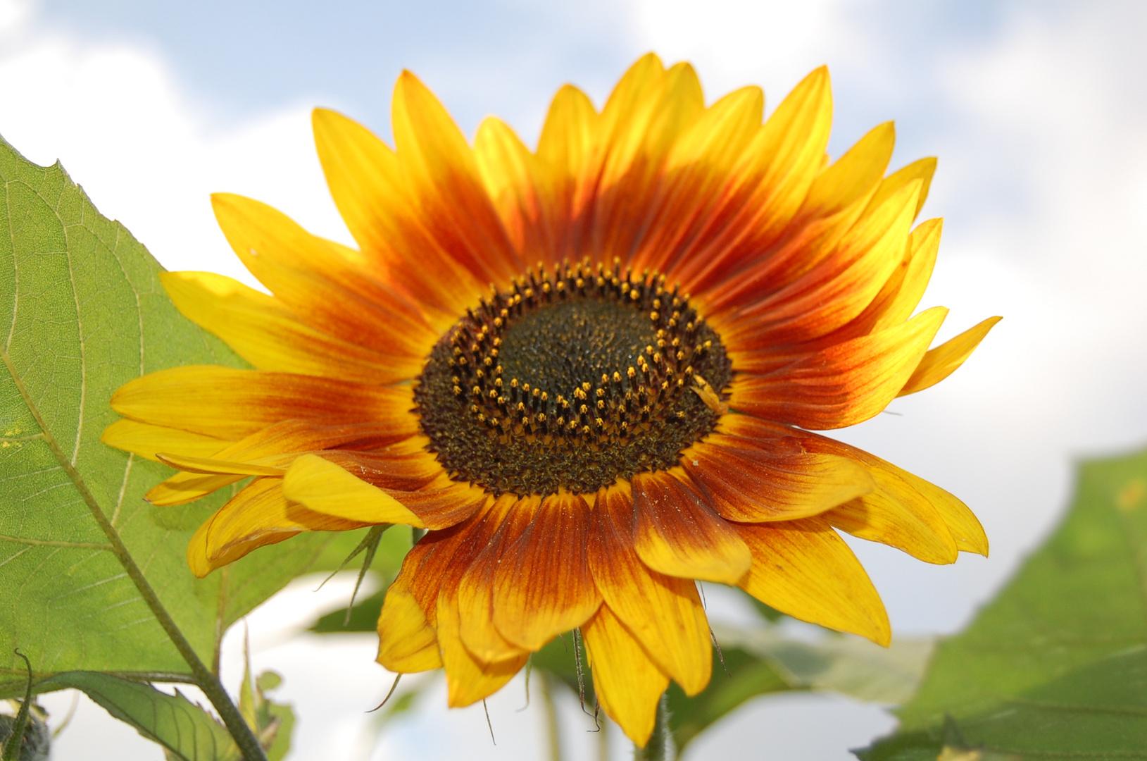 Sonnenblume bei uns im Garten