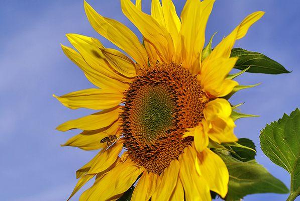 Sonnenblume, Biene