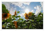 Sonne(n)Blume