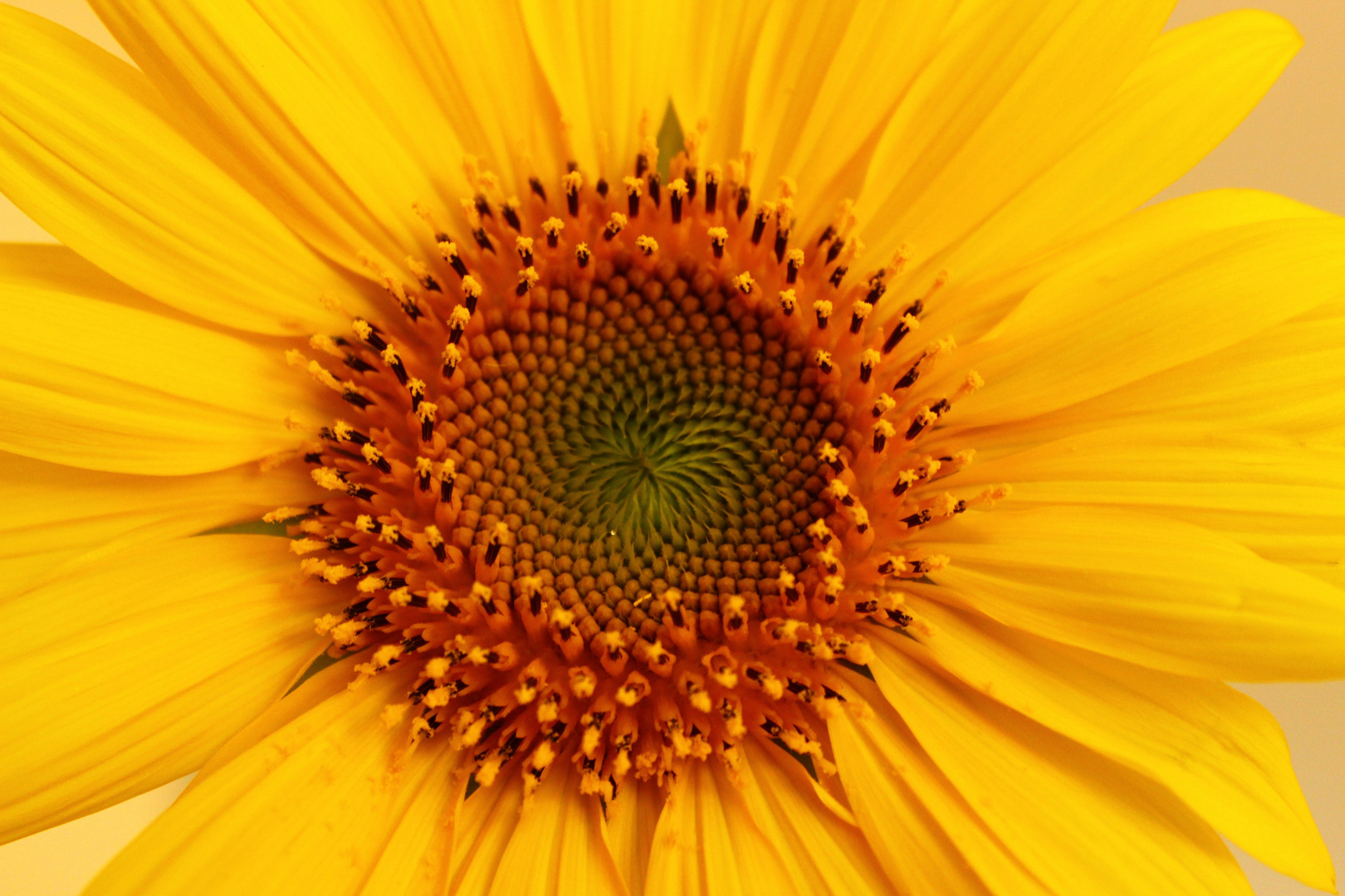 ... Sonnenblume
