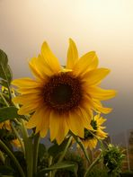 Sonnenblume die 2.