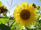 Sonnenblume die sich von der Sonne verwöhnen läßt.