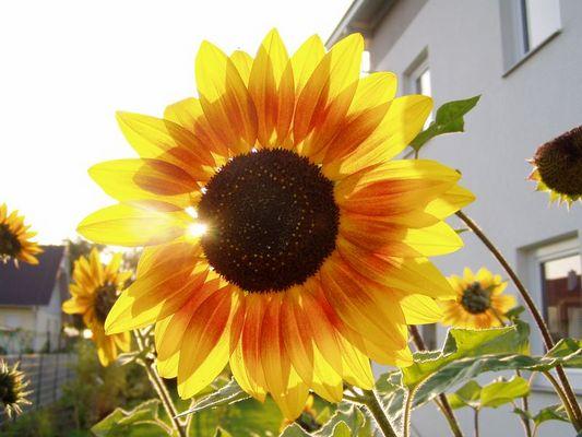 Sonnenblume????