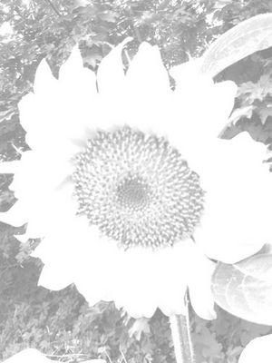 SONNENblume - einmal anders