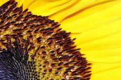 Sonnenblume én detail