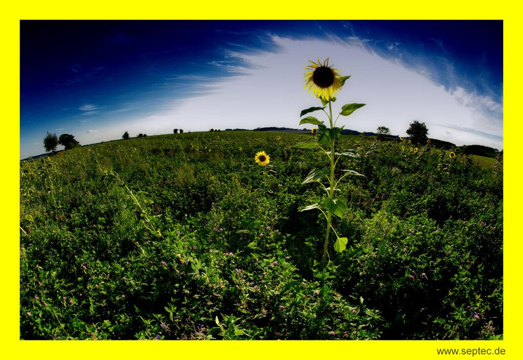 Sonnenblume erhellt den Himmel