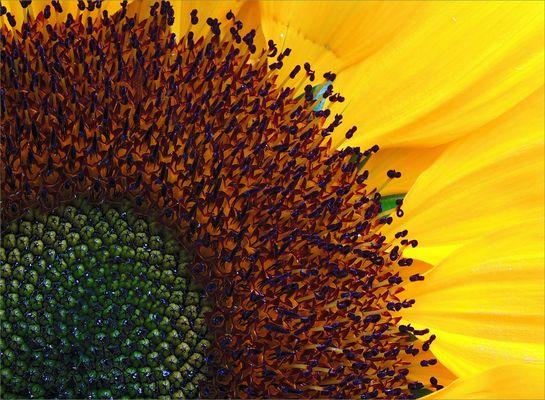 Sonnenblume       Girasol