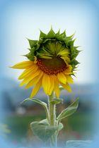 Sonnenblume halb geöffnet...