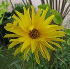 Sonnenblume (Helianthus), 14.09.2014
