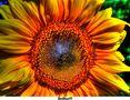 Sonnenblume (Helianthus) von BeiBuett