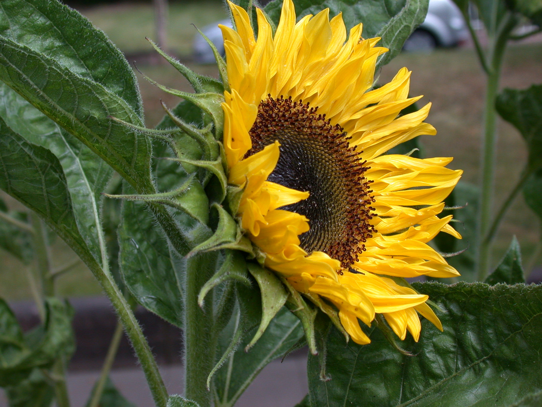 Sonnenblume Helianthus annuus